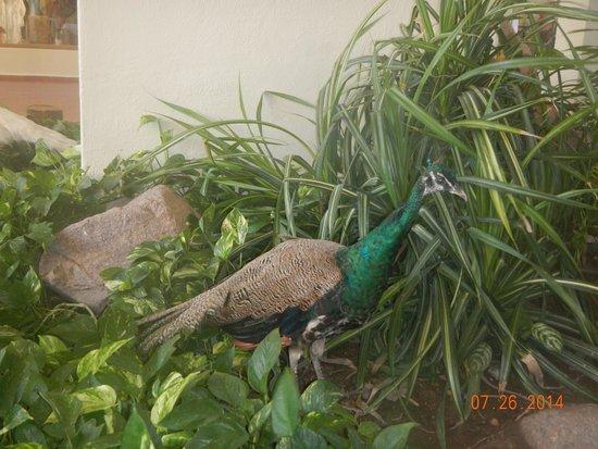 Velas Vallarta: Peacock
