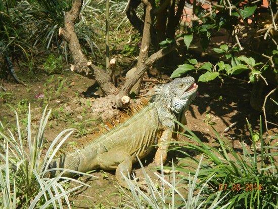 Velas Vallarta Suite Resort : Iguana across from one of the pools