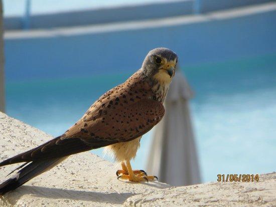 Rixos Sharm El Sheikh: Peregrine Falcon landed on opposite balcony