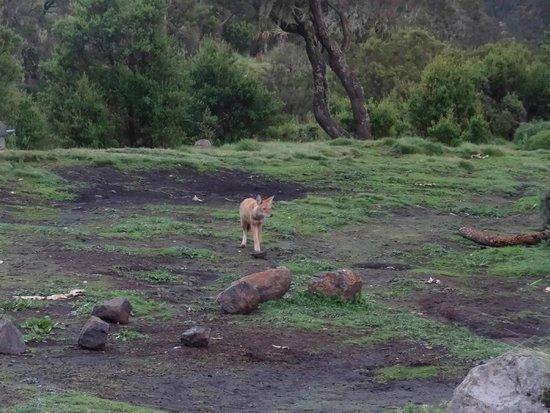 Simien Mountains National Park: Ethiopian Wolf