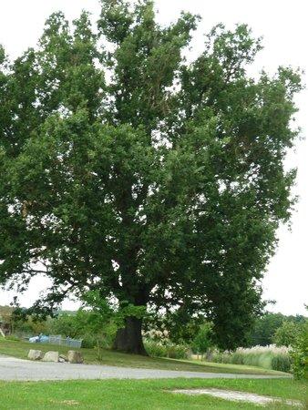 Bastide de Lassalle : Le Chêne