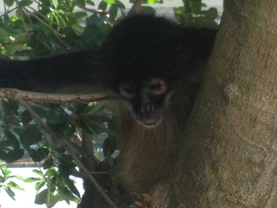 Azul Beach Resort The Fives Playa Del Carmen: The monkeys!