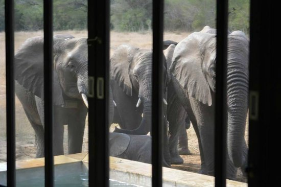 andBeyond Phinda Vlei Lodge: Elephants drinking from our pool in Room #6!