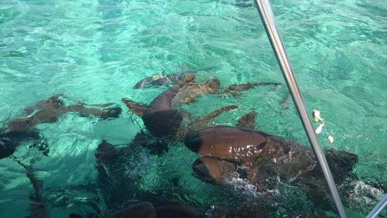 Reserva Marina Hol Chan: Tiburones