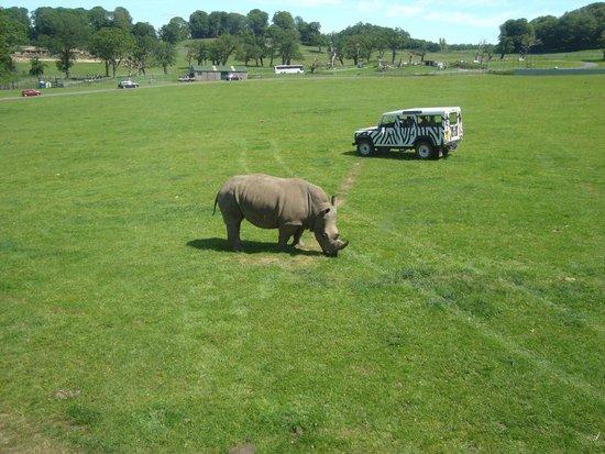 Longleat: Rhino time