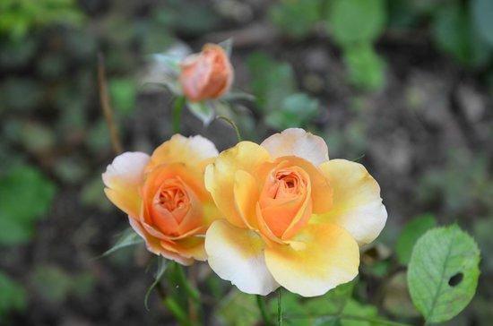 Le Clos Fleuri: Roses de Juillet/ July roses