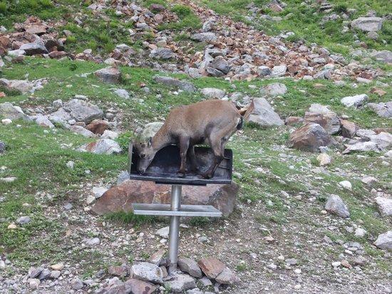 Lago Delle Rovine: gli stambecchi femmina salgono siu barbecue per leccare il sale