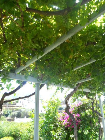 Myrto Bungalow Hotel: Grape vine