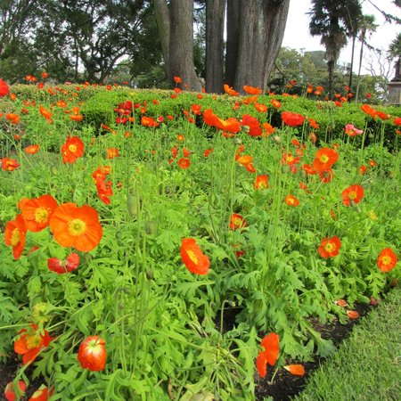Coast-to-Coast Walkway : Poppies in bloom to brighten your day!
