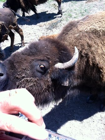 Terry Bison Ranch: Bison feeding