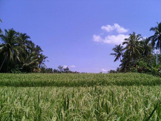 Junjungan Suite Villa: вид на рисовые поля