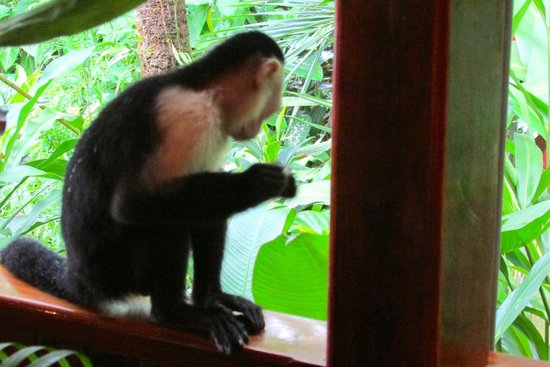 La Paloma Lodge : White Face Monkey after stealing popcorn