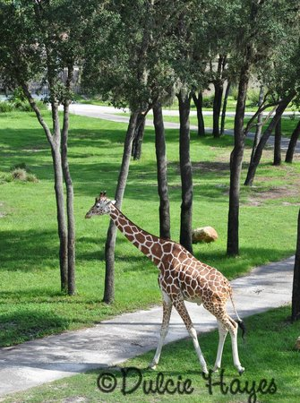 Disney's Animal Kingdom Villas - Kidani Village: Almost eye level with the giraffes