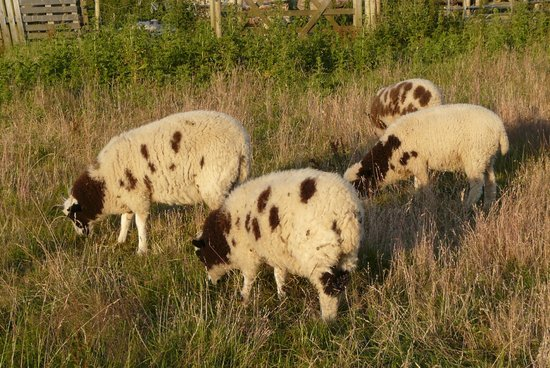 Fauxquets Valley Farm Camping: animaux camping ferme moutons