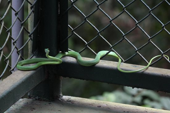 Gamboa Rainforest Resort Aerial Tram Tour : Snake