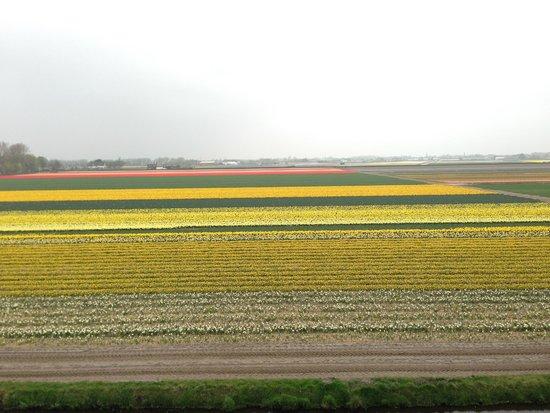 Keukenhof: Campos de tulipas, no inicio da florada