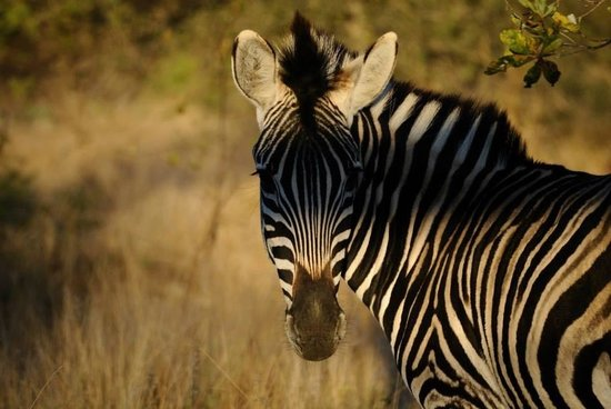 Imbali Safari Lodge : Zebra