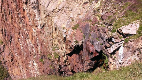 South Stack Cliffs RSPB Reserve: Falcon nest just above the heather, center middle