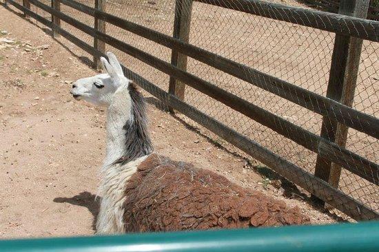 Keno's Llama Ranch & Guest House: llama