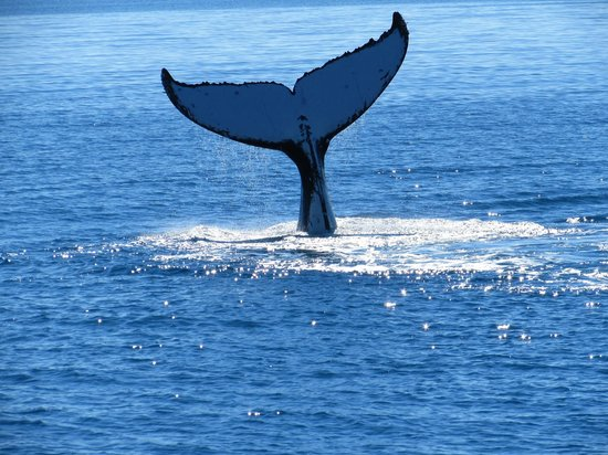 Quick Cat II - Hervey Bay Whale Watch: Tail wave