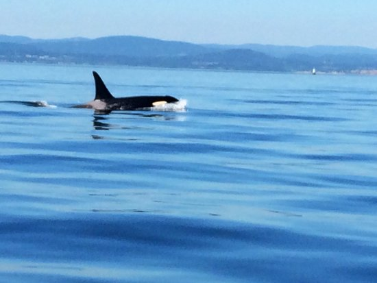 SpringTide Whale Watching & Charters : Orca spotting