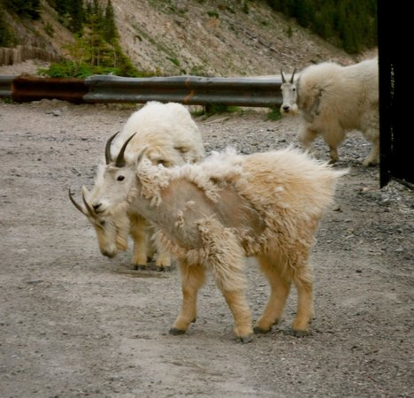 Columbia Ice Field : Mountain Goats on the side of the Skywalk licking the salt off the Road.