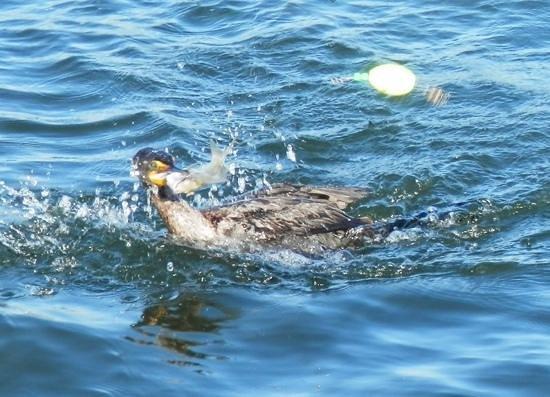 Tarpon Bay Explorers: Grudge match-determined cormorant wants my pin fish!