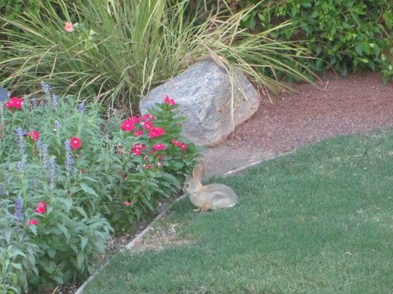 Desert Riviera Hotel: The rabbit that shows up from time to time