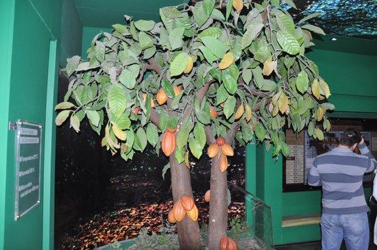 Havanna Museo del Chocolate: Árvore de cacau