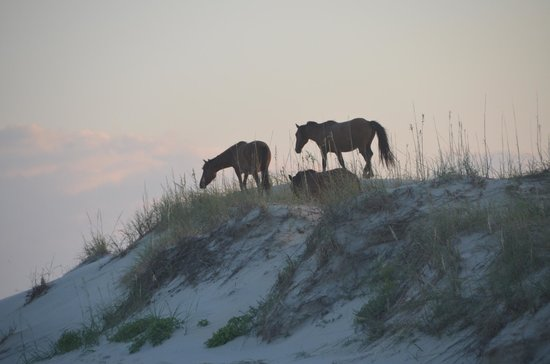 Bobs Wild Horse Tours: Horses on the dunes in OBX