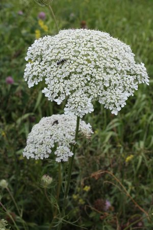 Neal Smith National Wildlife Refuge and Prairie Learning Center: Queen Anne's Lace