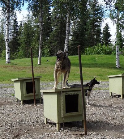 Dream a Dream Premier Iditarod Kennel : The dogs