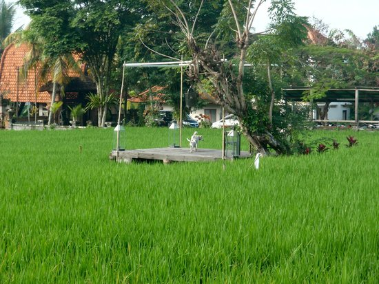 Plataran Ubud Hotel & Spa: Rice Paddies with the Morning dog visit