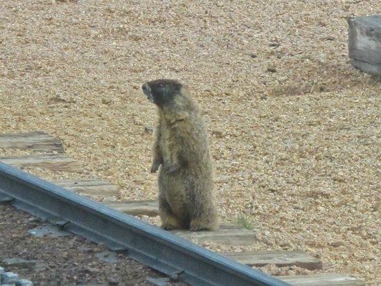 Pikes Peak Cog Railway : A marmot next to the railway track