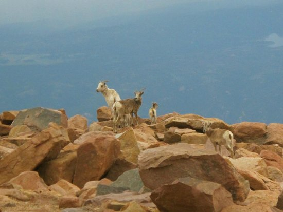 Pikes Peak Cog Railway : Rocky Mountain Bighorn Sheep at the summit of Pikes Peak