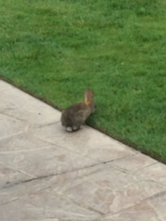 Bacara Resort & Spa: Hop Hop Bunnies every where