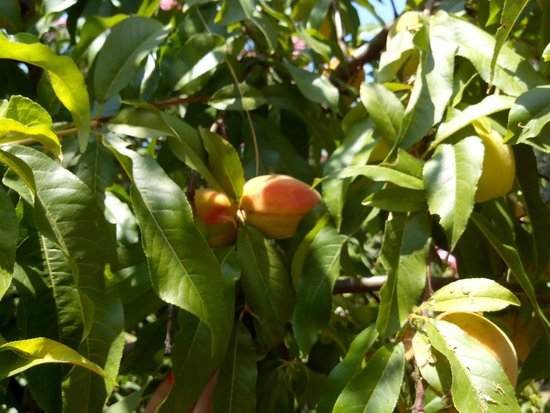 Horus Paradise Luxury Resort: Персики, апельсины, оливки, авокадо, гранат... всё растёт на территории