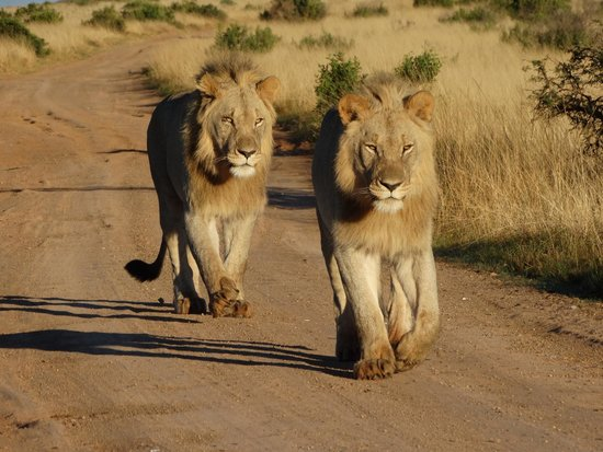 Shamwari Game Reserve Lodges: Golden Lions