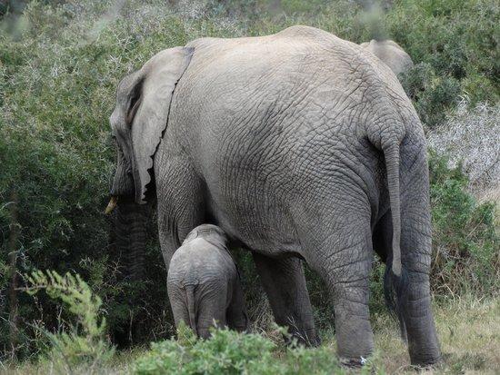 Shamwari Game Reserve Lodges: La mamma è sempre la mamma