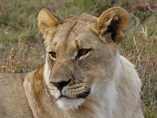 Shamwari Game Reserve Lodges: Leonessa pensierosa