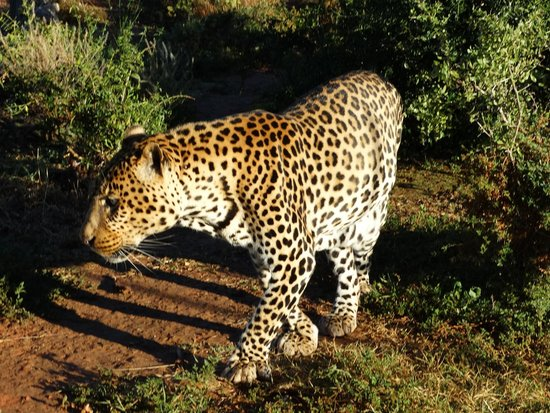 Shamwari Game Reserve Lodges: Leopardo a spasso