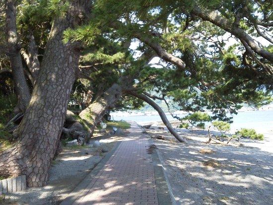 Surugawan Deep Sea Fish Museum: 諸口神社境内松巨木