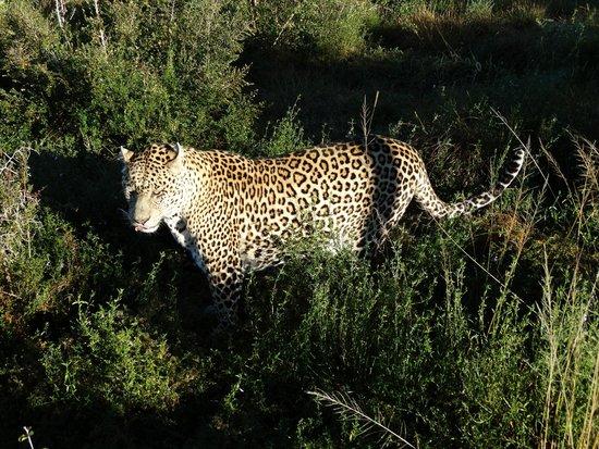 Shamwari Game Reserve: Leopardo a caccia
