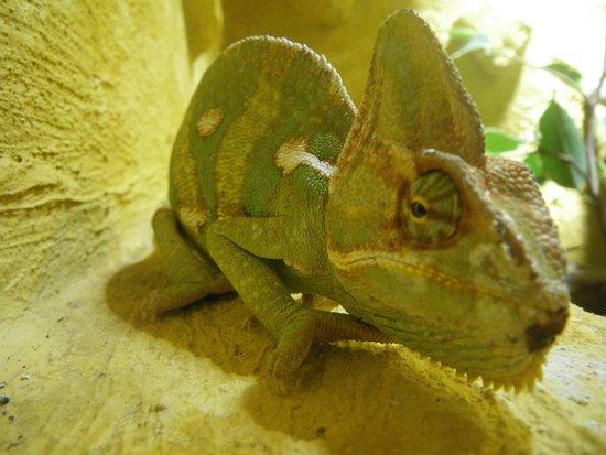 Aquaworld Aquarium & Reptile Rescue Centre: yemen chameleon