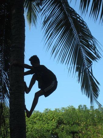 Climbing the coconut tree in the garden