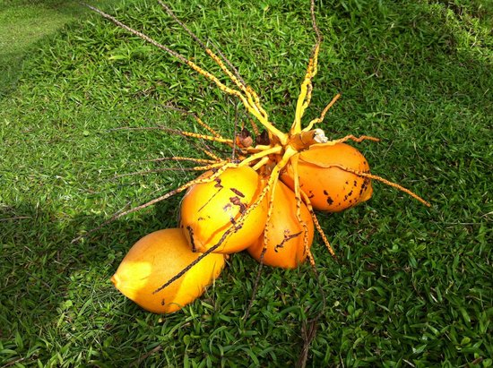 Apa Villa Thalpe: The king coconut plucked from our garden. Refreshing and nutritious.