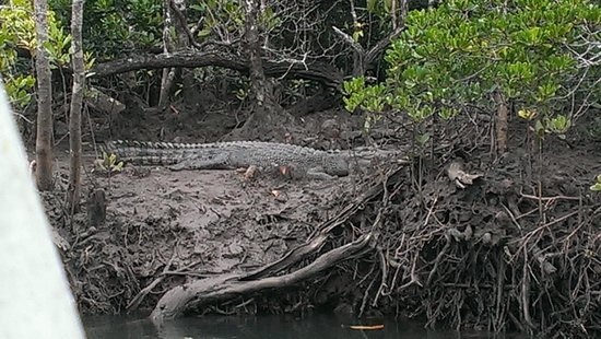 Daintree Tours: One of the crocs beside Cooper Creek..