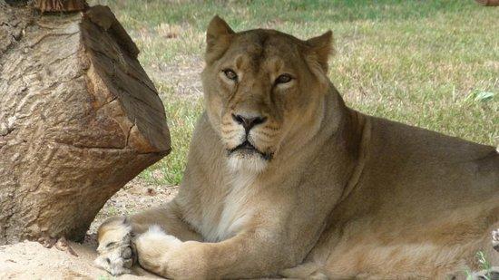 Prager Zoo: Львица-царица!