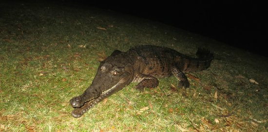 Kimberleyland Waterfront Holiday Park: Resident Croc