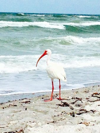 The Beach on Longboat Key: Bird Life